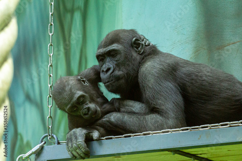 Female and juvenile lowland Western lowland gorilla (Gorilla gorilla) resting in the park Wallpaper Mural
