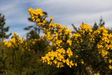 Yellow Color Gorse Flower On A Bush Close Up