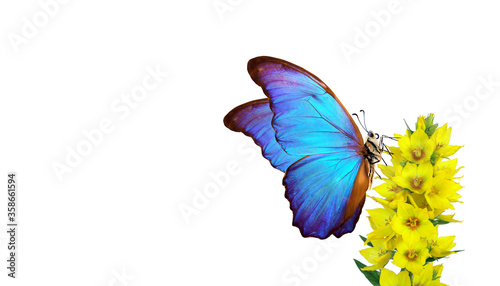 Obraz na plátně bright blue morpho butterfly on a yellow flowers isolated on a white