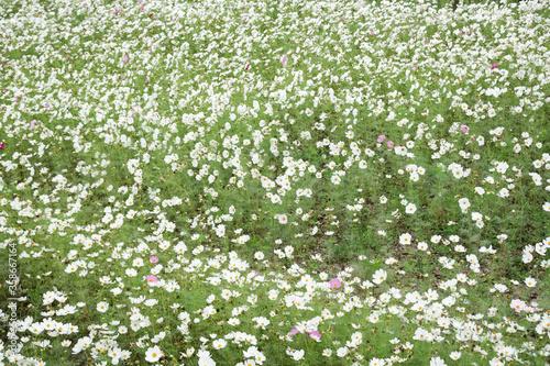 white cosmos flowers farm Canvas Print