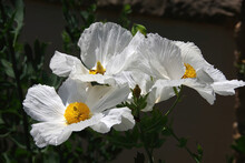 Close-up View Of Matilija Poppy Blossoms, Large White Flowers With Yellow Stamen