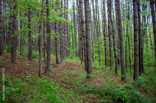 Rows of trees in a forest