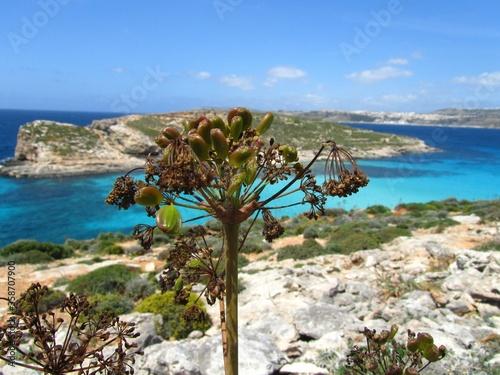 Obraz na plátně Coastal vegetation next to the beautiful, Blue Lagoon in Comino, Malta