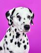 Leinwandbild Motiv portrait of a dalmatian puppy