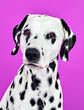 canvas print picture - portrait of a dalmatian puppy
