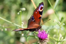 A Peacock Butterfly Nectaring ...