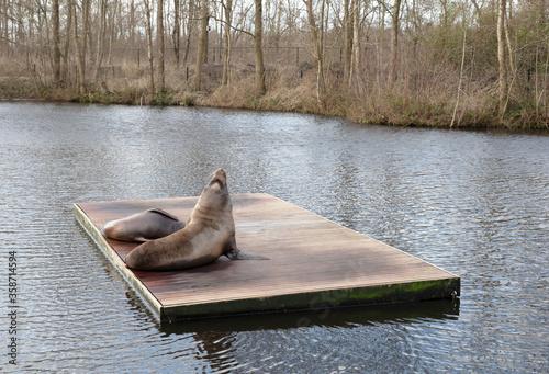 Fotografie, Obraz Californian sea lions resting