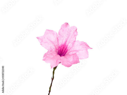 Close up Pink flowers of Waterkanon plant. Canvas Print