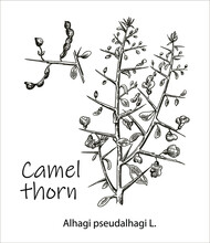 Camelthorn Alhagi Maurorum , Or Camelthorn-bush, Caspian Manna, Persian Mannaplant. Hand Drawn Botanical Vector Illustration