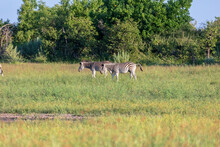 Two Zebra Stand Side By Side As They Graze In The Early Morning Sunshine Of The Okavango Delta In Botswana.