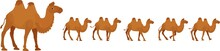 Bactrian Or A Two-humped Camel...