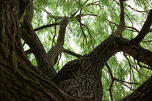 Crown Of Green Old Willow. Vie...