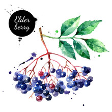 Watercolor Hand Drawn Elderberry Illustration. Vector Painted Sketch Isolated On White Background