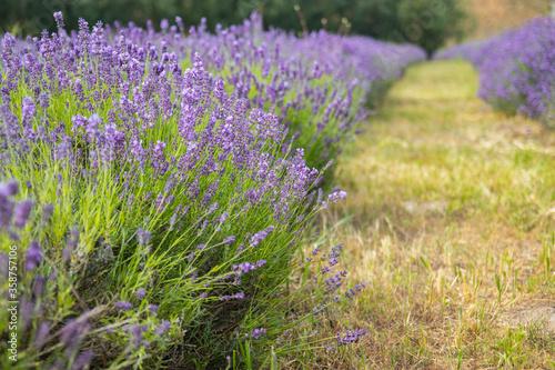 Fototapeta Lavender field in sunlight. Field of Lavender, officinalis. Beautiful image of lavender field.Lavender flower field, image for nat. obraz na płótnie