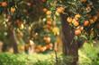 Leinwandbild Motiv Tangerine sunny garden