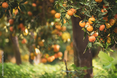 Fototapeta Tangerine sunny garden obraz