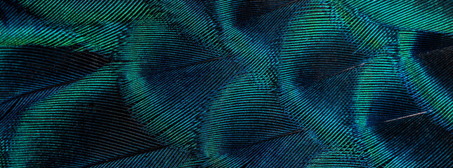 Closeup peacock feathers ,Beautiful background, wallpaper, texture