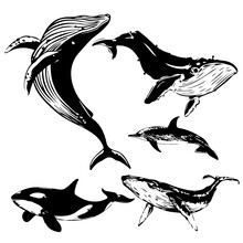 Set Of Whale Species. Vector I...