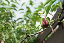 Baby Pears, Fruits In Trees