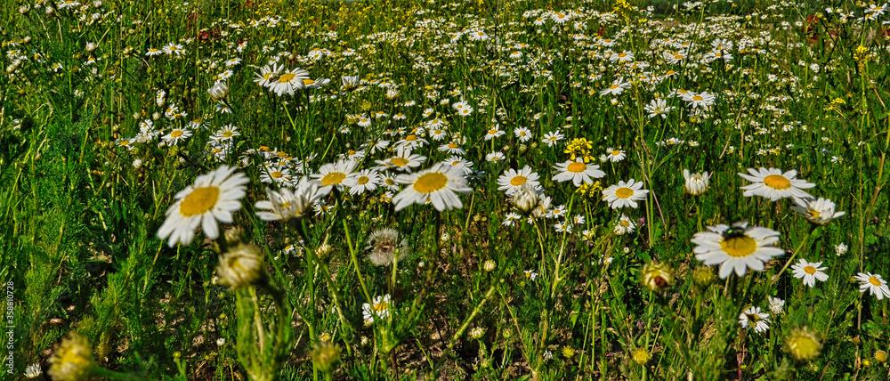 Fototapeta Piękna letnia łąka pokryta kwiatami. Panorama