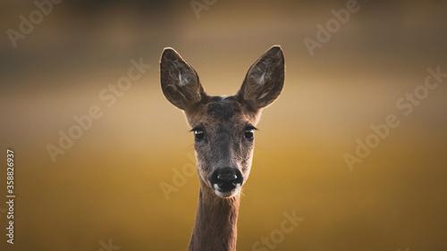 Cuadros en Lienzo portrait of a roe deer