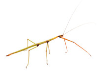 Walking Stick Insect With Clip...