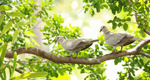 A Pair Of Ring Neck Doves Perched On A Tree Branch In A Tropical Backyard Garden.