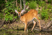 Female Deer With An Injured Eye Walking Into Water
