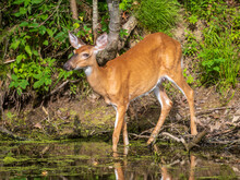 Side View Of A Female White-tailed Deer Standing In Shallow Water