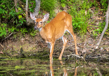 Female White Tailed Deer Walks Into Water