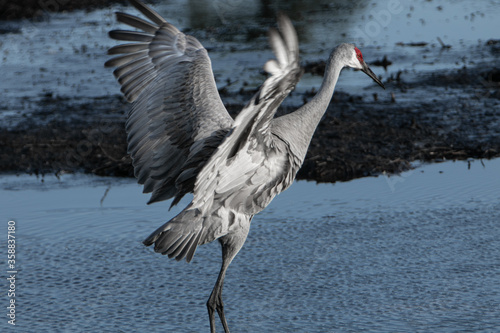 Adult sandhill crane about to take flight. #358837180