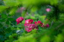 Red Roses Among Green Pine Fol...