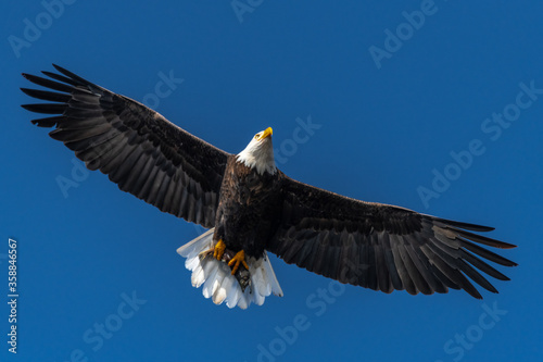 Hunting Bald Eagle (Haliaeetus leucocephalus) Canvas Print