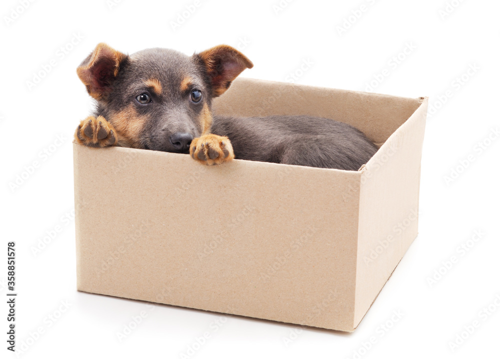 One little dog in the box.