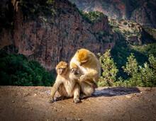 Wild Berber Monkey At Ozoud Waterfall In Morocco