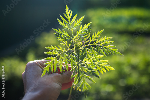 Photo Ragweed bushes