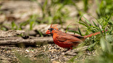 A Male Northern Cardinal Starting To Molt.