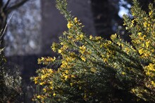 Genista Anglica, Petty Whin, Needle Furze Or Needle Whin. It Is A Shrubby Flowering Plant Of The Family Fabaceae.