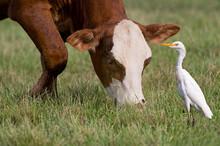 Cattle Egret Standing Near Cow...