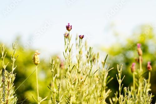 Fioletowa lawenda na działce lub na polu. Roślina rosnąca niezbyt wysoko.  - 358875130