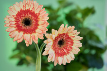 Close-up Of Two Gerbera Daisies Flowers In Red And Yellow Tones On A Background Of Green Leaves.