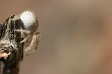 Goldenrod Crab Spider. Macro P...