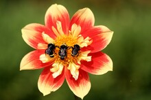 Three Bees On A Flower