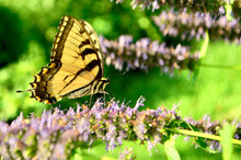Eastern Tiger Swallowtail Butterfly (Papilio Glaucus) Sipping Nectar From The Flowers Of Anise Hyssop (Agastache Foeniculum).. Closeup.  Copy Space.