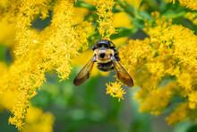 Carpenter Bee On Yellow Flower...