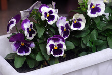 White And Purple Viola Or Pansy Flowers In A Garden Pot. Close-up.