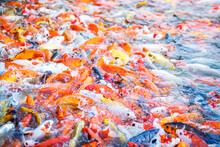 Beautiful Colorful Koi Fish In...