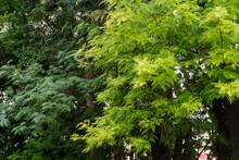 Grevillea Robusta, Commonly Known As The Southern Silky Oak, Silk Oak Or Silky Oak, Silver Oak Or Australian Silver Oak, Is A Flowering Plant In The Family Proteaceae.