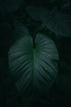 Large Taro Leaves In The Forest