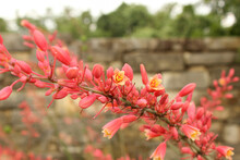 Red Yucca Plant, Fills Center Frame, Many Buds And Flowers With Blurred Background